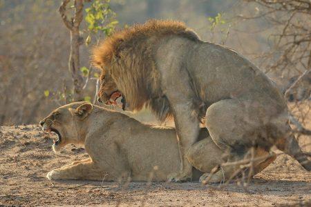 Lions mating Timbavati