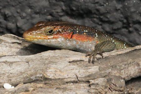 Lizard Timbavati