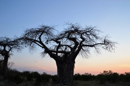 Lonely baobab Savuti