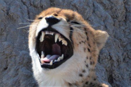 Look at my teeth cheetah in Chobe Reserve