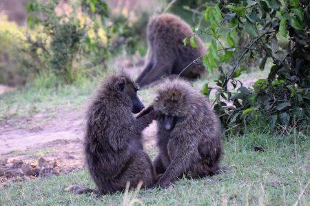 Maasai Mara baboons grooming