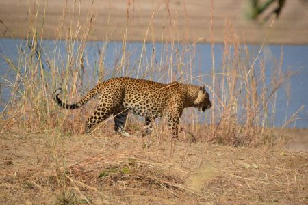 Male leopard on patrol South Luangwa