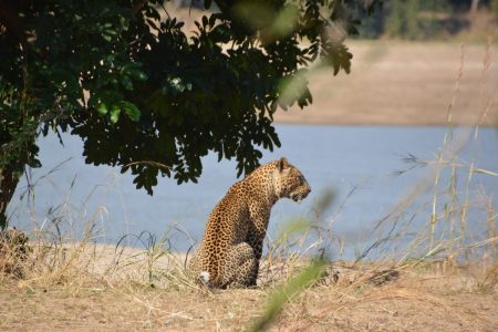 Male leopard by Luangwa River