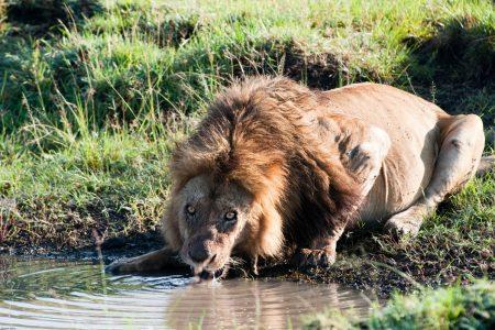 Male lion drinking in the Maasai Mara