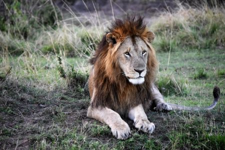 Male lion Maasai Mara