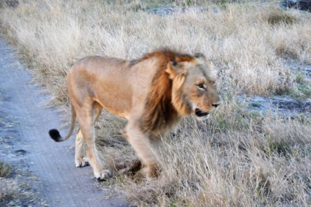 Male lion near Somalisa Expeditions Camp