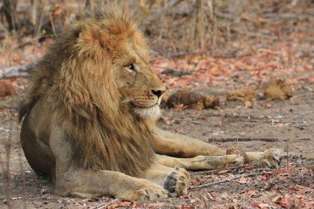 Male lion Timbavati
