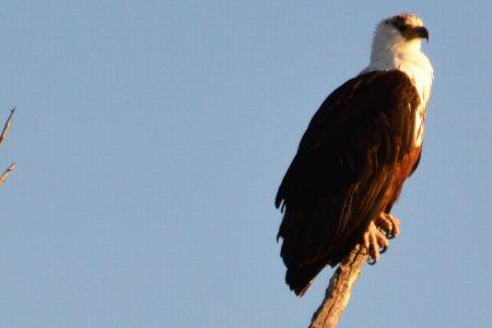 Mature fish eagle Chobe River