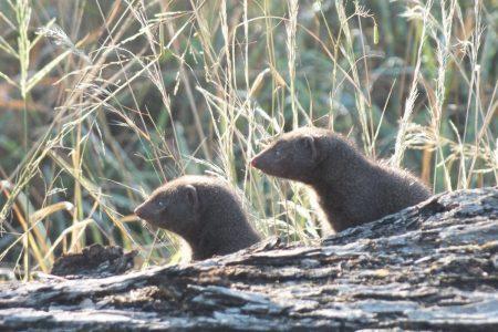 mongoose Limpopo