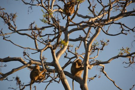 Monkeys in tree South Luangwa