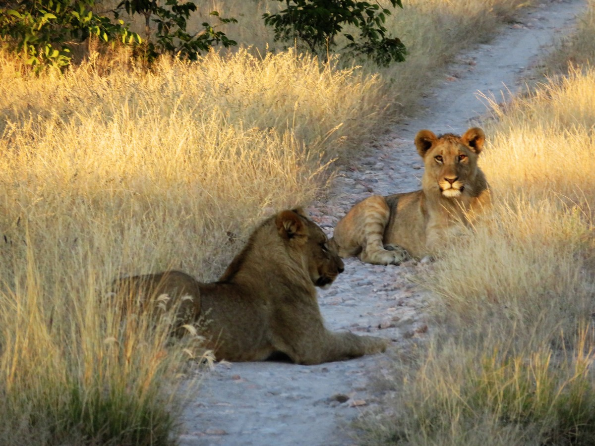 Lions in Ongava Reserve