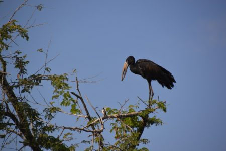 Open-billed stork South Luangwa