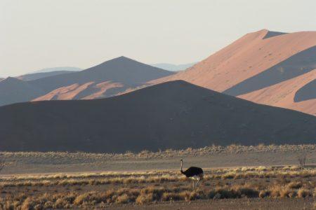 Ostrich in Damaraland