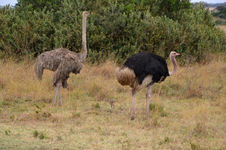ostrich parents Hwange