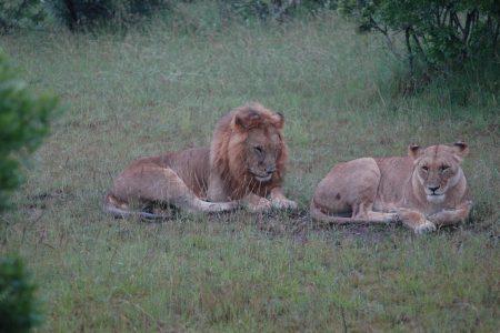 Pair of lions Maasai Mara