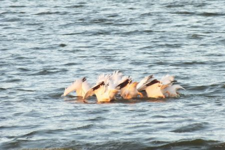 pelicans fishing teamwork