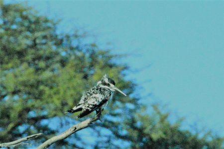 Pied kingfisher Boteti River Makgadikgadi