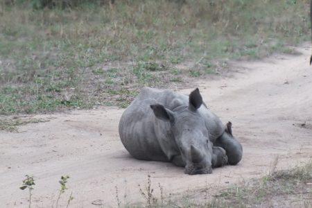 Rhino calf Limpopo