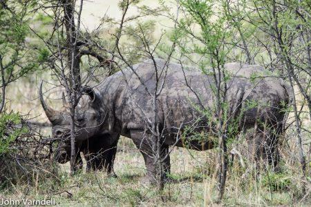 Rhino in Manyara