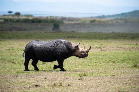 Rhinoceros in the Maasai Mara