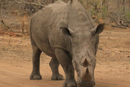 Rhinoceros in Timbavati