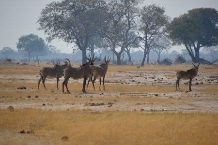 roan antelope Hwange