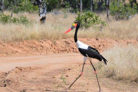 Saddle-bill stork Mana Pools