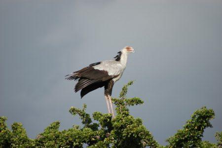 Secretary Bird - Maasai Mara