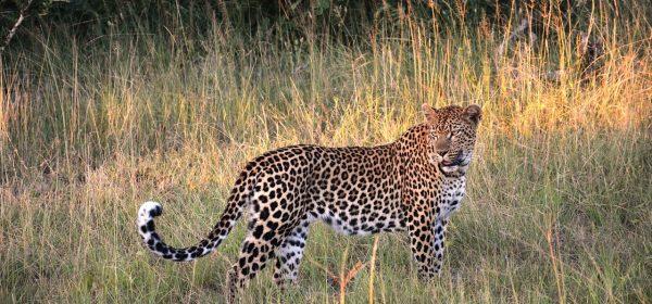 Safari Club - South Africa leopard
