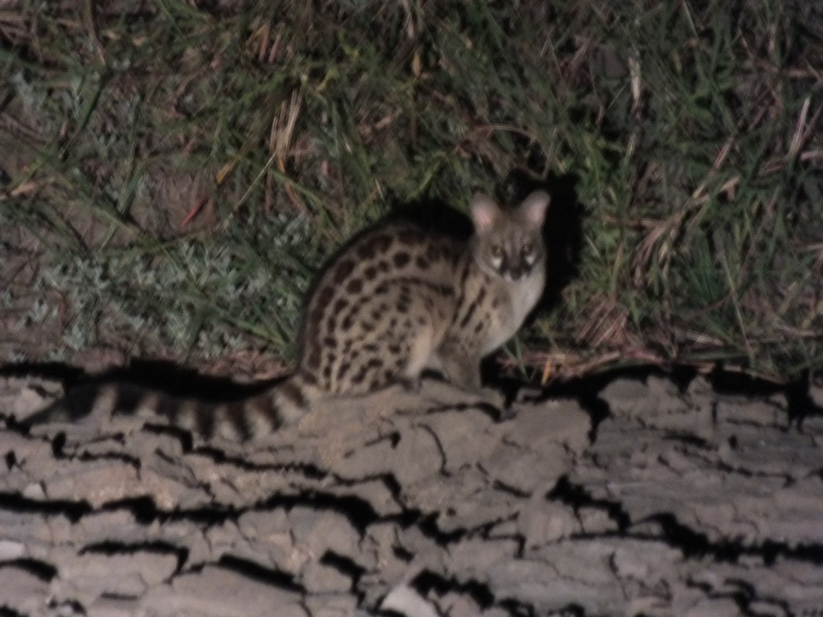 Spotted genet Limpopo