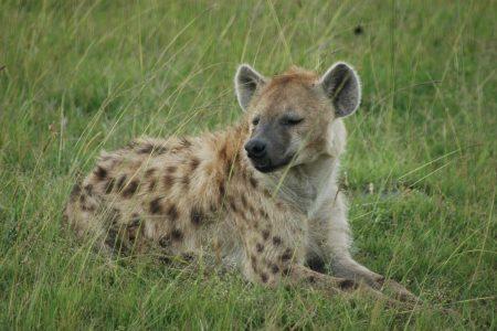 Spotted Hyena – Maasai mara