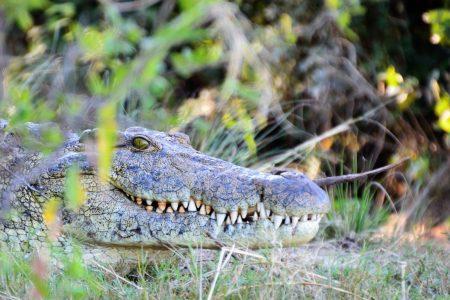 Toothy crocodile Victoria Falls cruise