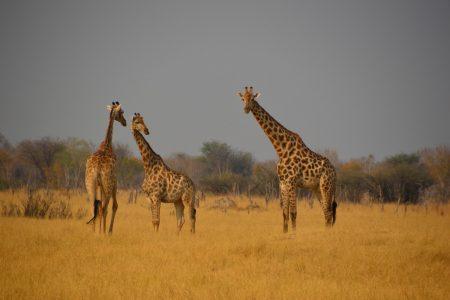 trio of giraffe Hwange