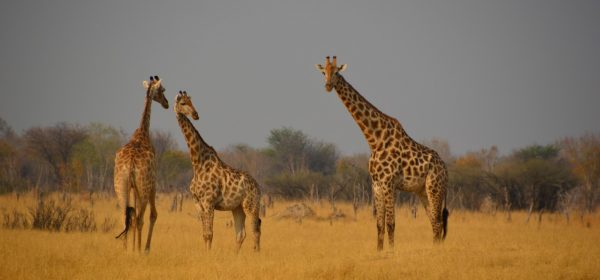 Safari Club - trio of giraffe Hwange