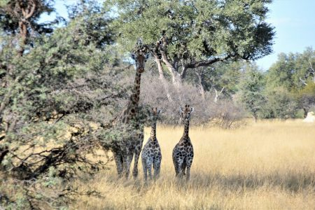 Twin baby giraffe Hwange