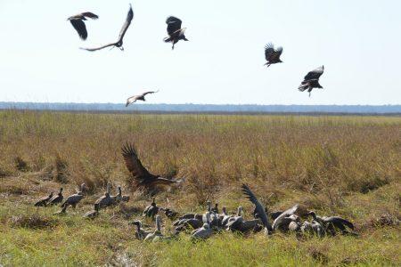 Vultures Kafue