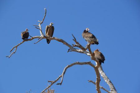 Vultures waiting for dinner South Luangwa