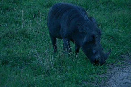 Warthog in Kwando
