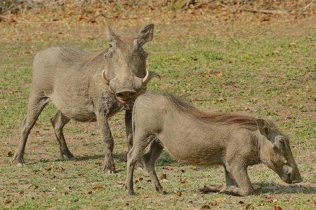 Warthogs at Timbavati