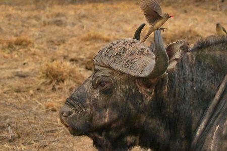 Water buffalo head Timbavati