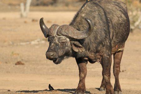 Water buffalo Timbavati