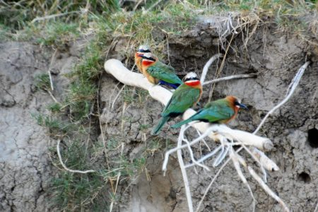 White-fronted Bee-eater colony Zambezi River