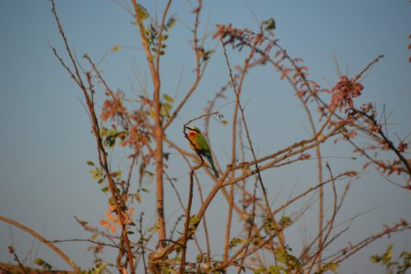 White-fronted bee-eater South Luangwa