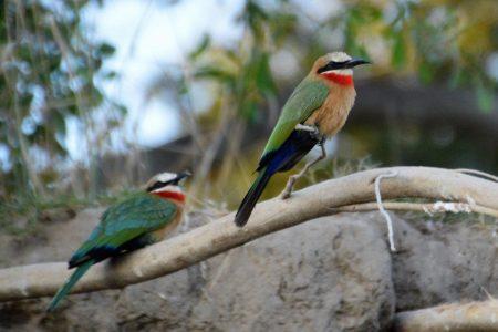 White-fronted Bee-eaters Zambezi