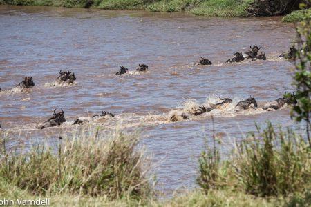 Wildebeest crossing river Serengeti