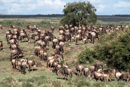 Wildebeest migration in the Maasai Mara