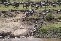 Safari Club Photos - Wildebeest migration Serengeti