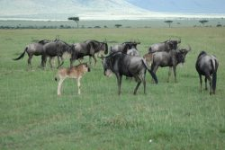 Safari Club Photos - Wildebeest with young Maasai Mara