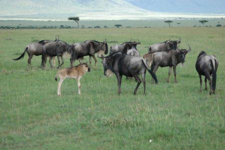 Wildebeest with young Maasai Mara