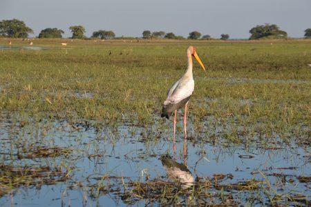 Yellow-billed stork Kafue